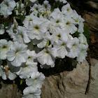 Petunia (stereo white)