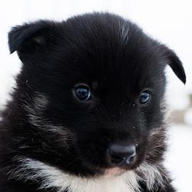by Sverre Sebjørnsen - Animals - Dogs Puppies