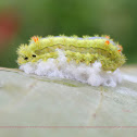 fungus infects the caterpillar