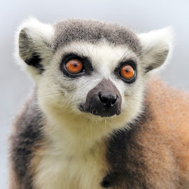 Ringtail Lemur by Ralph Harvey - Animals Other Mammals ( wildlife, lemur, ralph harvey, longleat, animal )