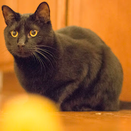 My Ball! by Shawn Klawitter - Animals - Cats Portraits ( cat, pet, play, indoors )