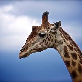 Serene Serengeti Giraffe by John Kelly - Animals Other ( serengeti safari )