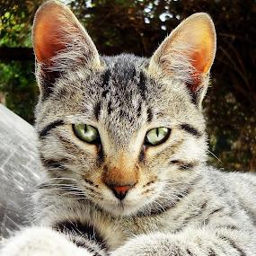 by Lalaji Anwar - Animals - Cats Portraits