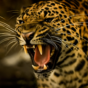 by Roy Ardy - Animals Lions, Tigers & Big Cats ( tigers & big cats, animals, lions,  )
