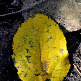 Leave by Iulia Radu - Nature Up Close Leaves & Grasses ( autumn leaves, autumn, yellow leave, yellow, yellow leaves, leaves )
