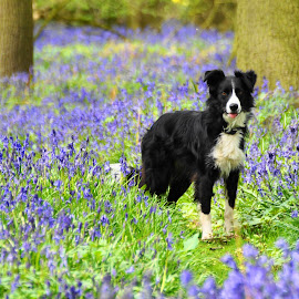 Fred in Bluebells by Sue Lascelles - Novices Only Pets ( collie, border collie, blue, sunny, pet, dog, spring, bluebells,  )