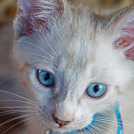 Blue Eyes by Denise Flay - Animals - Cats Kittens (  )