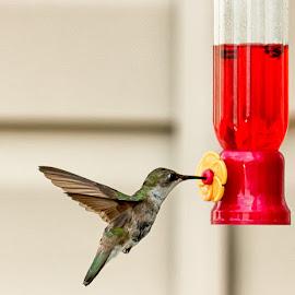 Hummingbird by Shawn Klawitter - Animals Birds (  )
