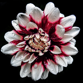 Dahlia by Peter Greenhalgh - Flowers Single Flower ( water, drops, white, dahlia, flower, rain )
