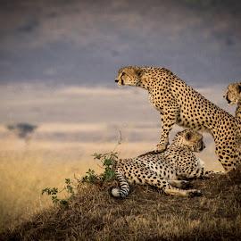 King of the Hill by Marc Jager - Animals Lions, Tigers & Big Cats ( cheetah, masai mara, kenya )