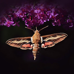 White-lined Sphinx Moth by Liz Crono - Animals Insects & Spiders ( sphinx, insects, moths )