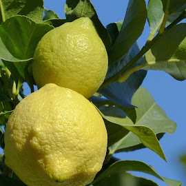 Lemons... by Francesco Altamura - Nature Up Close Other plants ( lemons, tree, fruits and vegetables, nature close up, yellow, leaves )