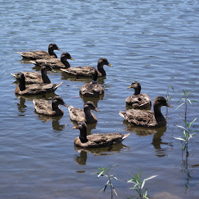 ducks at teter lake July 4 2014.jpg