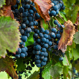 fall grapes by Debra Parrilli - Nature Up Close Gardens & Produce ( winery grapes, fall grapes, red grapes,  )
