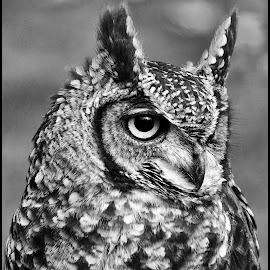 Uil by Etienne Chalmet - Black & White Animals ( animals, nature, black and white, uil, owls )