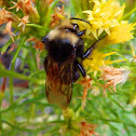 Yellow-faced bumblebee