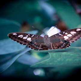 Butterfly 7  by Kelly Murdoch - Animals Insects & Spiders ( butterfly, macro, nature, landing, blue, leaf, leaves, close up, ztam )