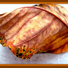 Diseased rubber tree leaf by Mary Voss - Nature Up Close Leaves & Grasses ( diseased, tree, fallen, patio, leaf )