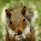 Eastern gray squirrel eating sunflower seeds