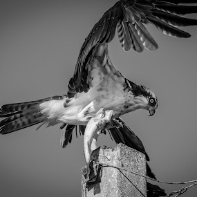Chop House by Jared Lantzman - Black & White Animals ( bird, osprey,  )