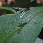 Blue Long-legged Fly