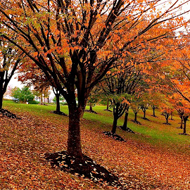 Trees of Fall. by Peter DiMarco - City,  Street & Park  Street Scenes ( orange, fall colors, orange leaves, trees, fall color )