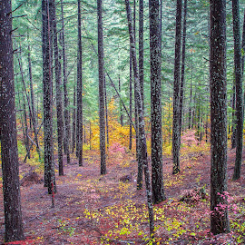 by Becca McKinnon - Landscapes Forests ( fall colors, fall, trees, forest, evergreen, fir, fall color )