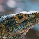 Black spiny-tailed iguanas