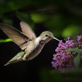 Garden Fairy by Liz Crono - Animals Birds ( flight, birds, hummingbirds )
