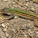 Laredo Striped Whiptail
