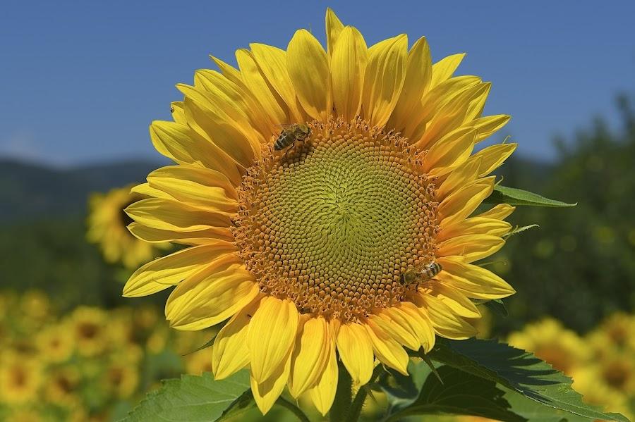Smile!! by Roy Walter - Flowers Single Flower ( farm, nature, single flower, sunflower, flowers )