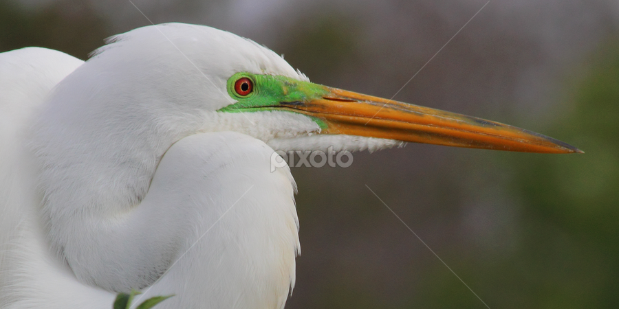 Great Egret Profile by Sandra Blair - Animals Birds ( egret, florida, bird, profile, wading bird, great egret, wader )