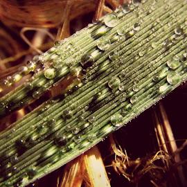 kapljice by Dragan Dvorski - Novices Only Macro ( water drops, macro, nature, novice, macro photography, nature up close )