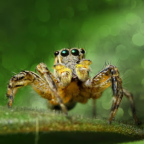 Spider by Rakhman Matsunaga Stavolt - Animals Insects & Spiders ( macro )