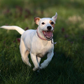 Jack Russel smile by Alessandra Cassola - Animals - Dogs Portraits ( #dog, #jack russel, #running, #dogs )