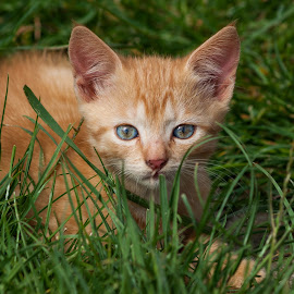 courious by Alexandru Lutia - Animals - Cats Playing ( playing, cat, courious, grass, kitty )