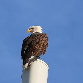 Return of the Eagle by Cheryl Thomas - Animals Birds ( bird, eagle, bird of prey, wings, eagles )