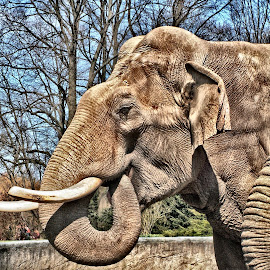 *nomnom by Uschi Rules - Animals Other Mammals ( mammals, elephant, white, hagenbeck, tusk, wrinkly, tusks, hamburg, mammal, elephants, wrinkles, trunk, zoo, ear, ears, brown, grey )