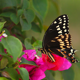 Giant Swallowtail on flower by Pablo Barilari - Animals Insects & Spiders ( giant swallowtail, buterfly, black butterfly )