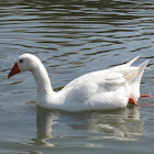 domestic goose; oca común