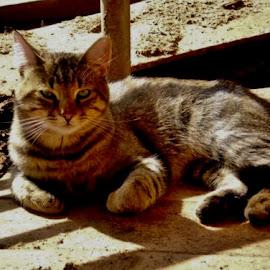 Tom's Barn by Samantha Linn - Animals - Cats Portraits