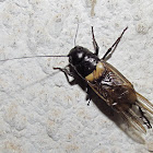 Common garden cricket