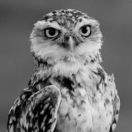 Burrowing Owl by Ralph Harvey - Black & White Animals ( bird, owl, beak, wildlife, ralph harvey )