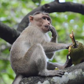 Bonnet Macaque by Yogesh Kumar - Animals Other ( fruit, macaque, jack, tree, bonnet )