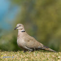Eurasian Collared Dove.