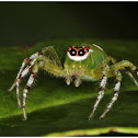 Tri-coloured Jumping Spider