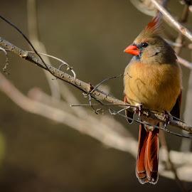 Female Cardinal by Bruce Lindman - Animals Birds ( perched, cardinal, branch, wildlife, birds )