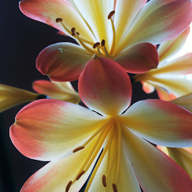 Clivia by Martha van der Westhuizen - Instagram & Mobile iPhone ( blooms. petals, yellow, flowers, clivia, close-up )