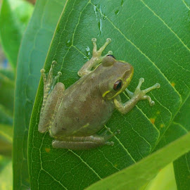 Frog 3 by Cindy Brown - Animals Amphibians (  )