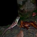 Sri Lankan Kangaroo Lizard